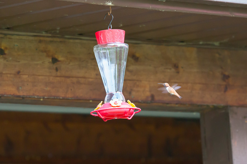 humming bird (50 of 55).jpg