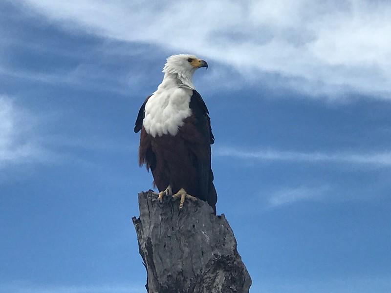 Sea eagle - Lisa Swenson