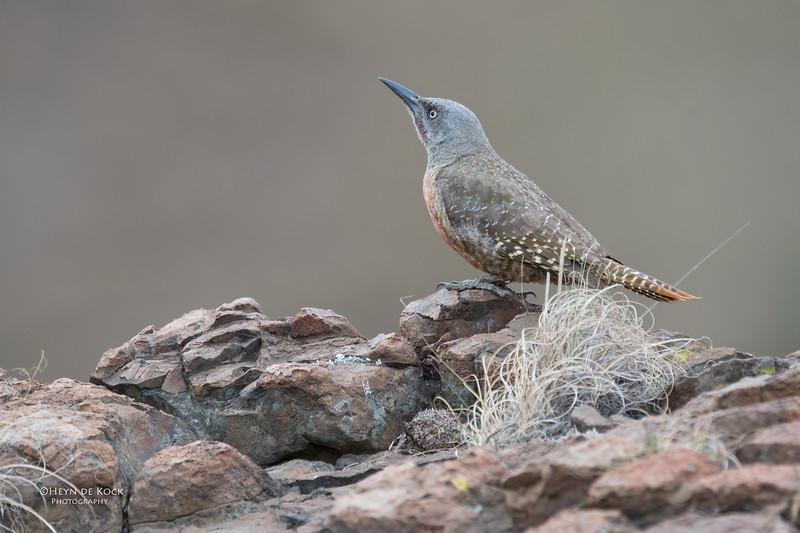 Ground Woodpecker, Goldengate NP, FS, SA, Oct 2016-4.jpg
