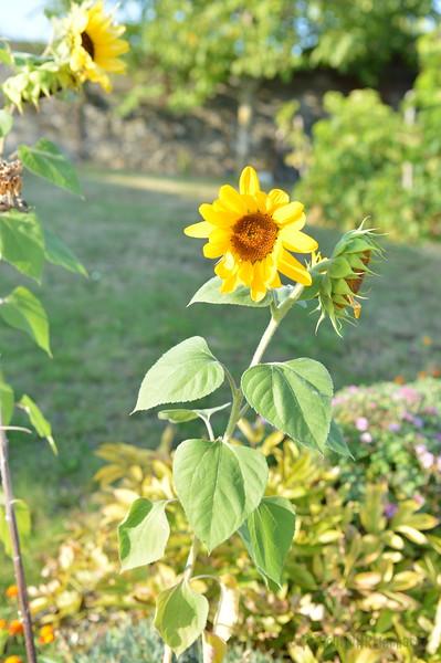 Sunflower Lonay_20092020 (13).JPG