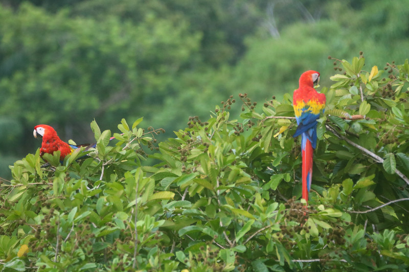 Red Scarlet Macaws (Ara Macao) in Costa Rica
