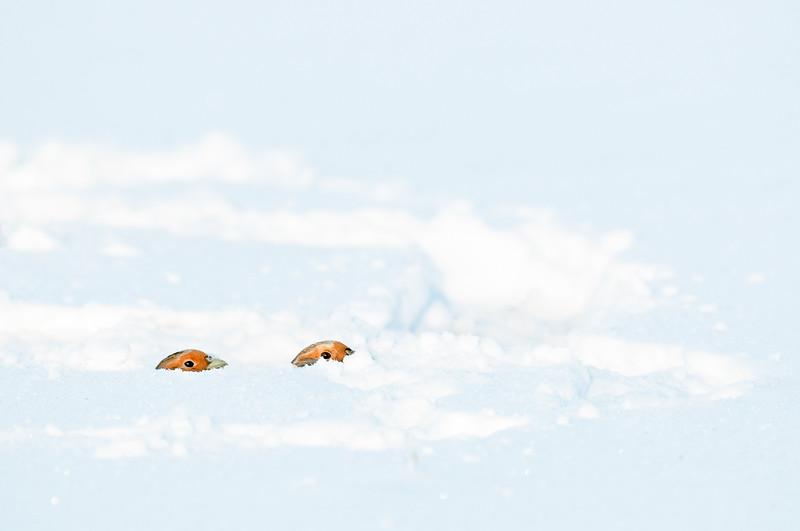 Partridge , Rapphöna