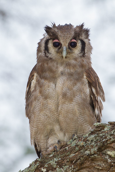 Verreaux's Eagle-Owl - Tarangire National Park, Tanzania
