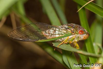 Clanger Cicada