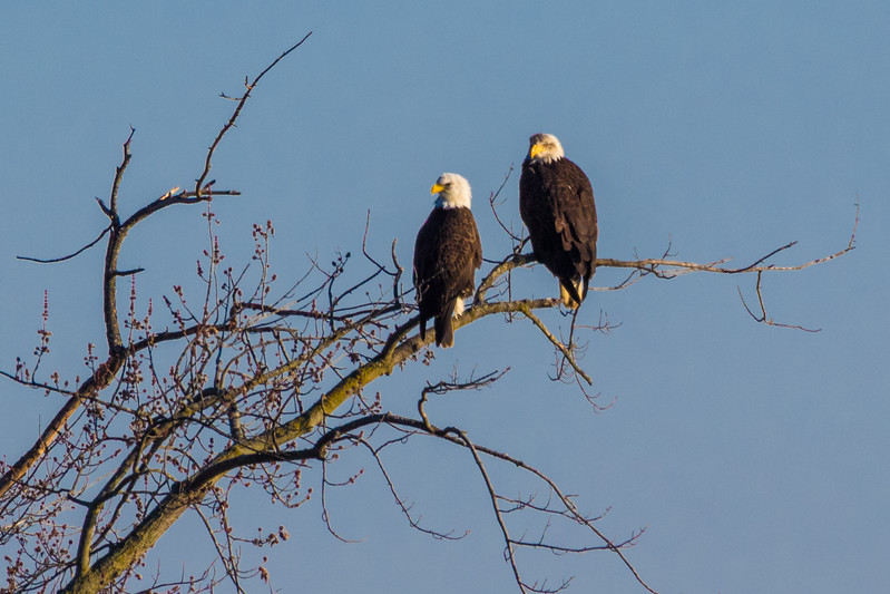 Bald Eagles along the Wabash River in West Lafayette, Indiana