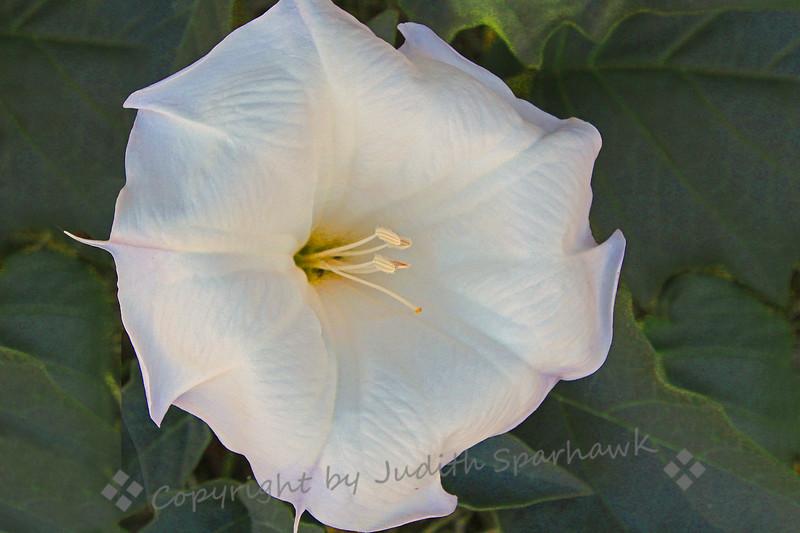 Thorn Apple Flower ~