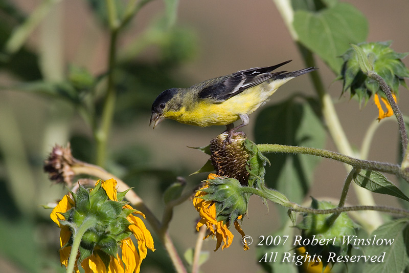 Lesser Goldfinch, Carduelis psaltria, La Plata County, Colorado, USA