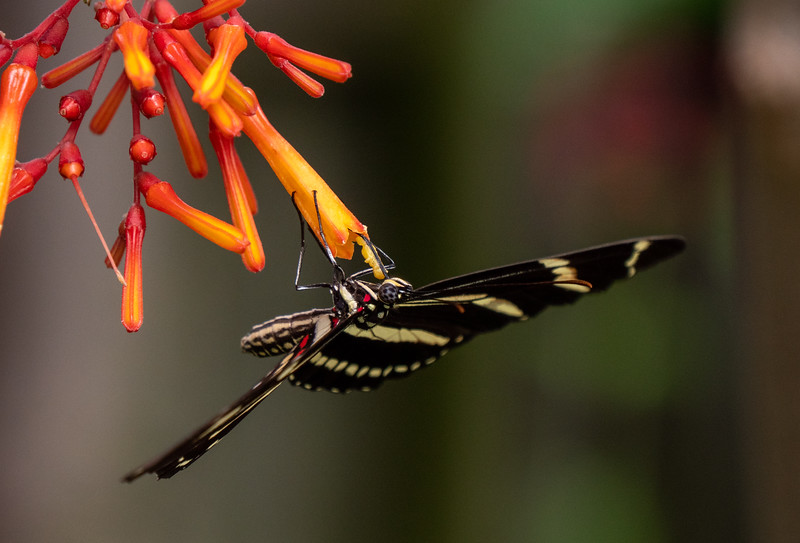 zebra longwing nectaring on firebush blossoms
