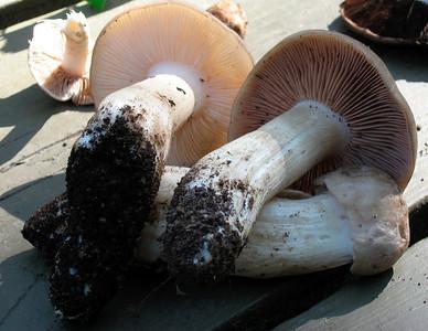Mushroom hunt in Santa Barbara (01/2008)