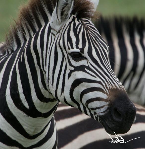 ZebraS-26.jpg