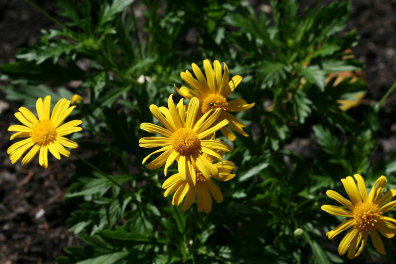 Yellow Bush Daisy