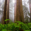 Redwoods in Fog, CA