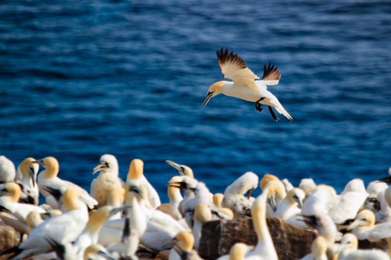 3rd largest Gannet colony