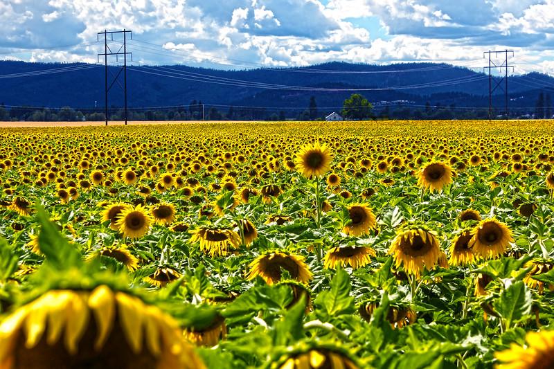 Sunflower Field....