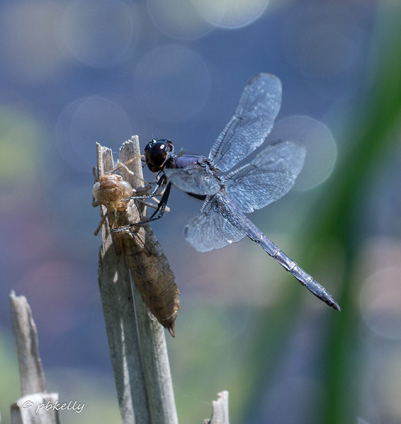 7-30-17.  Slaty Skimmer, Libellula incesta,  hanging on to an exuvia.  I'm not sure if it is his, since he doesn't look very newly emerged.
