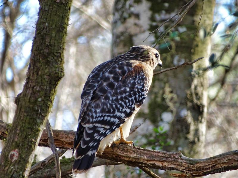 Red Shouldered Hawk, Thonotosassa, Florida