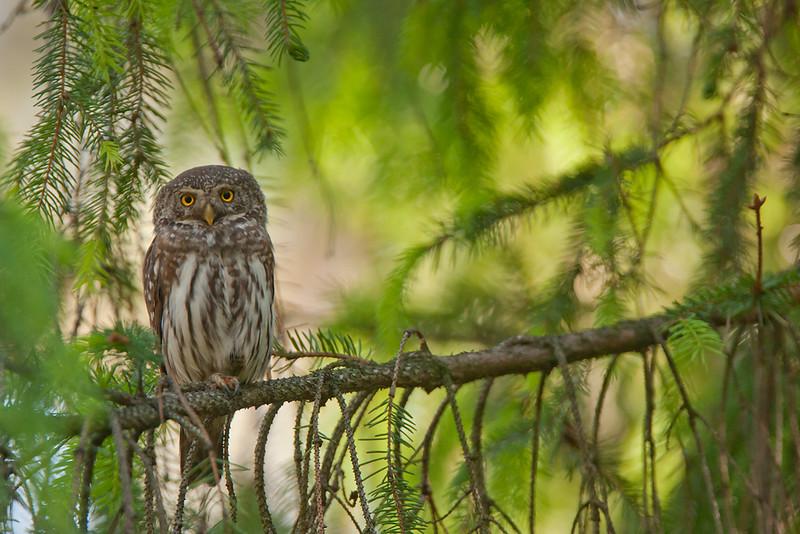 #Sóweczka #Pygmy owl #Michał Piekarski 002.jpg