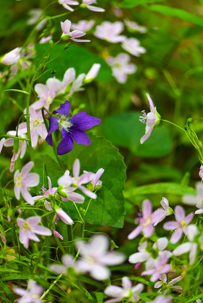 Spring beauties (Claytonia virginica) bloom in pink profusion joined by occasional purple violet (Viola sp.).