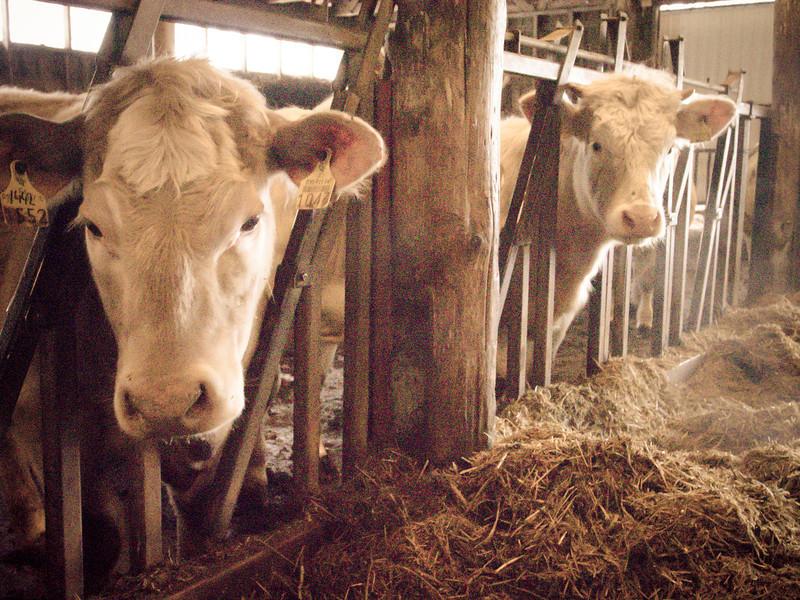 porvoo cows 10.jpg