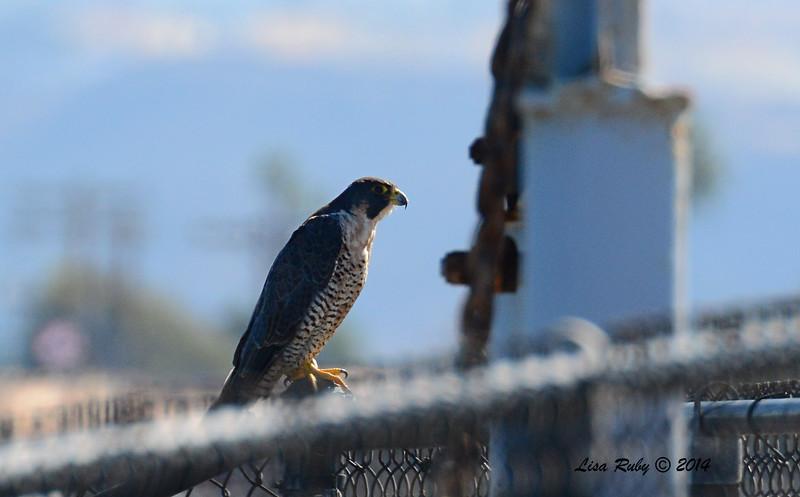 Peregrine Falcon - 10/8/2014 - Salt Works