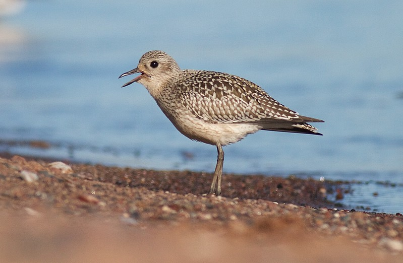Black-bellied Plover Wisconsin Point Superior WI IMG_8873.jpg
