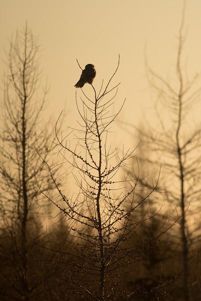 Northern Hawk Owl Zim Road Yoki Road Sax-Zim Bog MN DSC03052.jpg