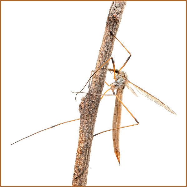 crane fly (female)