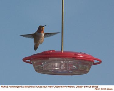 RufousHummingbirdM60325.jpg
