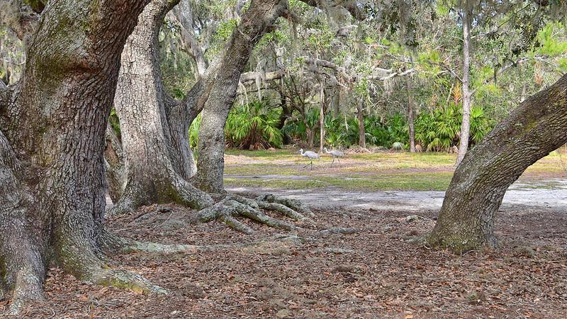 Sandhill cranes under large live oaks