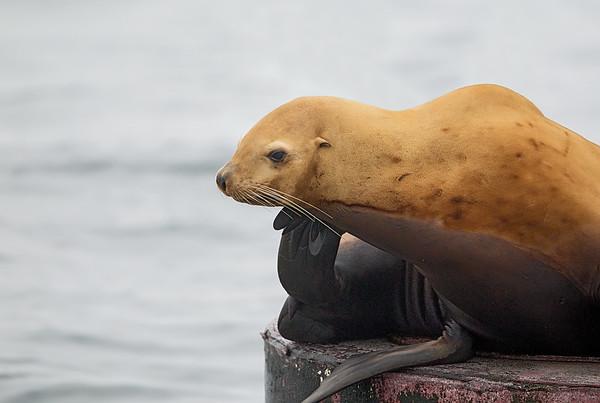 Stellers Sea-lion