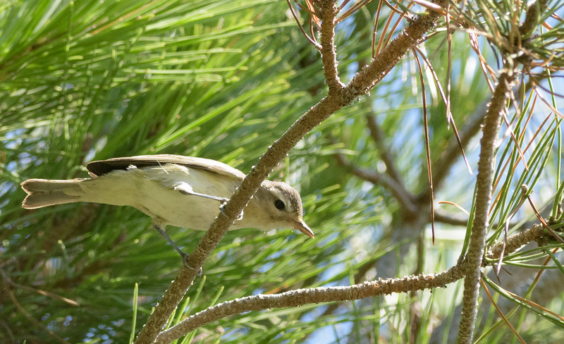 NOT a MacGillivray's warbler, Warbling vireo...