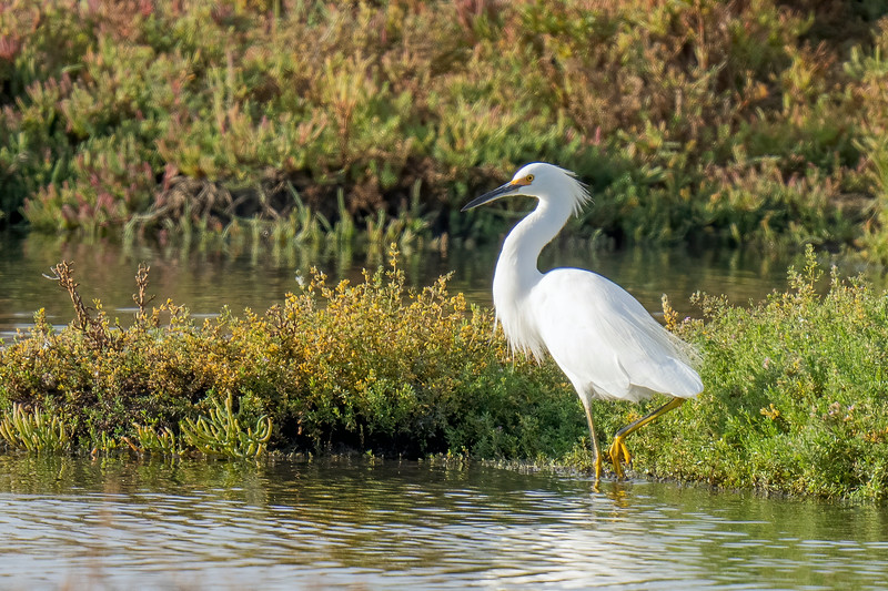 Snowy Egret at Don Edwards Refuge (South Bay)