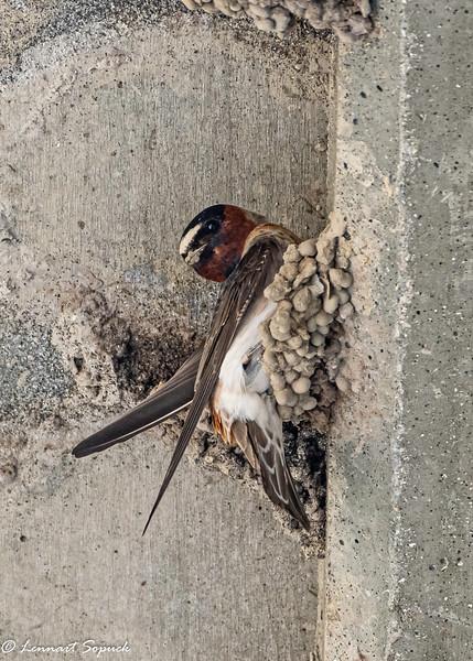 Cliff Swallow on nest Hwy 97C Pennask bridge 1 (1 of 1).jpg