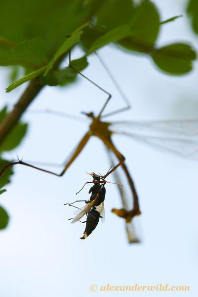 A hangingfly (Bittacus chlorostigma) has captured a male carpenter ant.  Empire Mine State Park, California, USA
