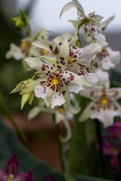 White Orchid with Wine Colored Spots