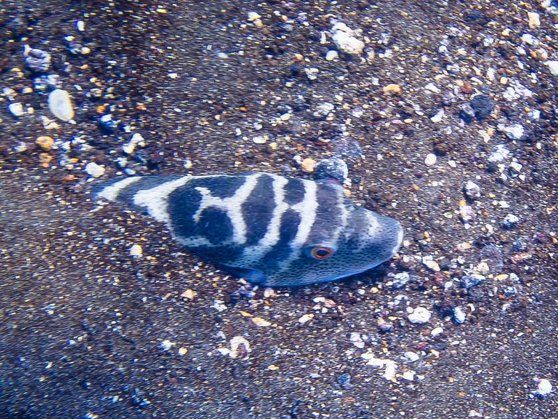 Bullseye Pufferfish