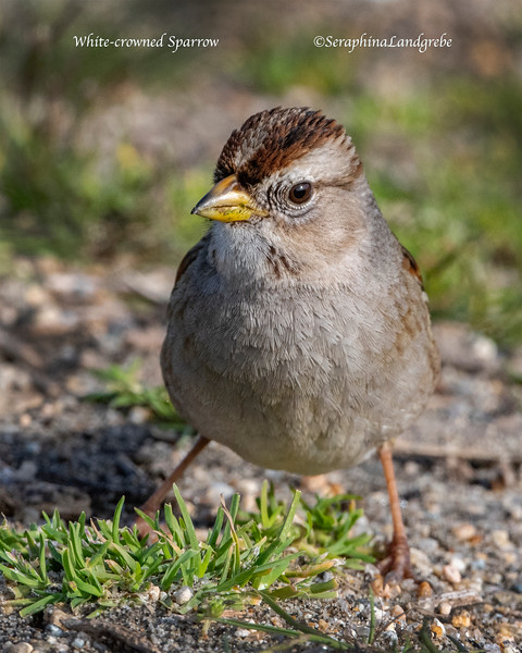 _DSC1319White-crowned Sparrow.jpg