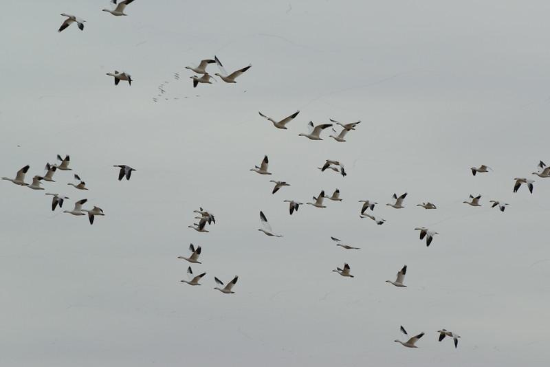 Snow Geese 6 03_13_19.JPG