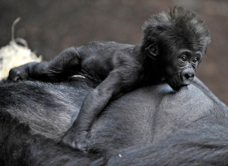 Description of . Gorilla Bahgira nurses her baby Kajolu in their ape house at the zoo in Munich, southern Germany. (AP Photo/dapd//Uwe Lein)