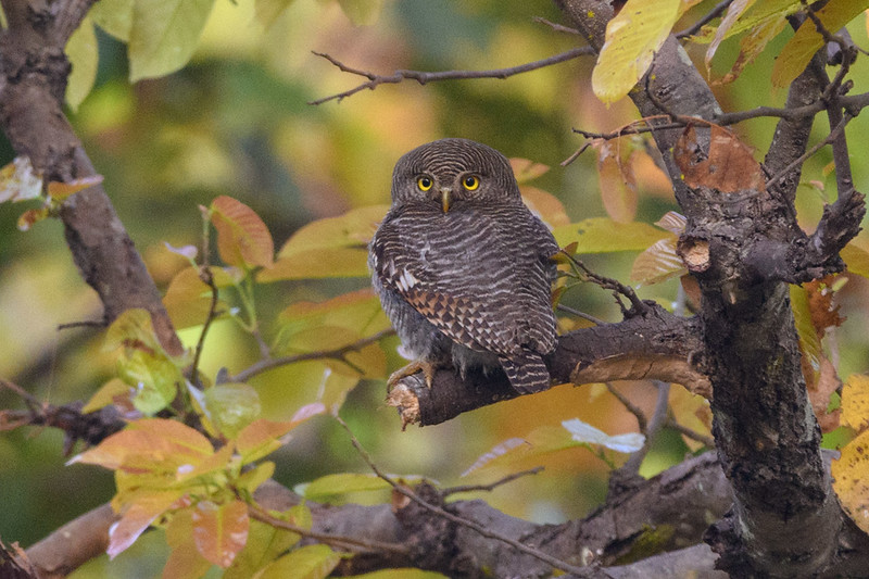 Jungle Owlets hunts during the day in hard wood fordt of Kanah NP, India.