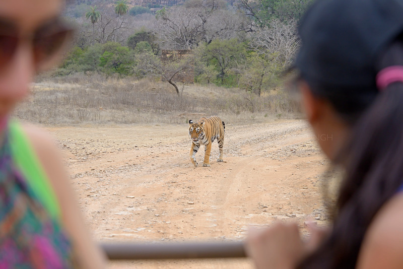 Tourists watching a wild bengal tiger walking down a forest path in Ranthambore