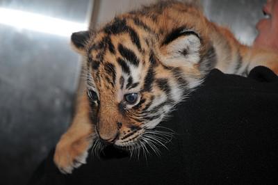 Tiger Cubs @ San Diego Zoo 5/27/2008