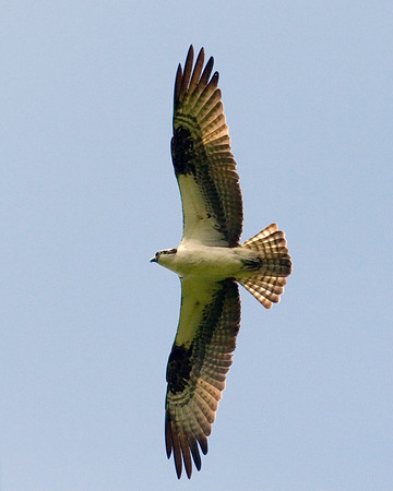 Osprey - Young