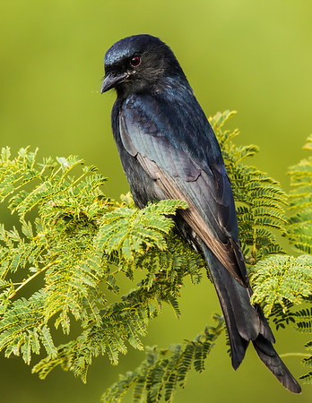 Forked-tail Drongo
