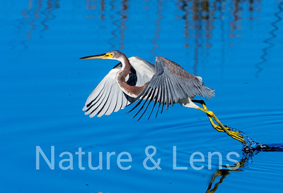 Herons, Tricolored