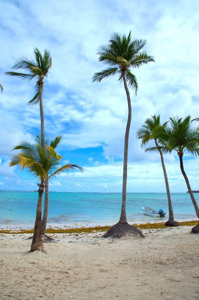 Palm trees on Beach in Punta Cana Dom Rep.jpg