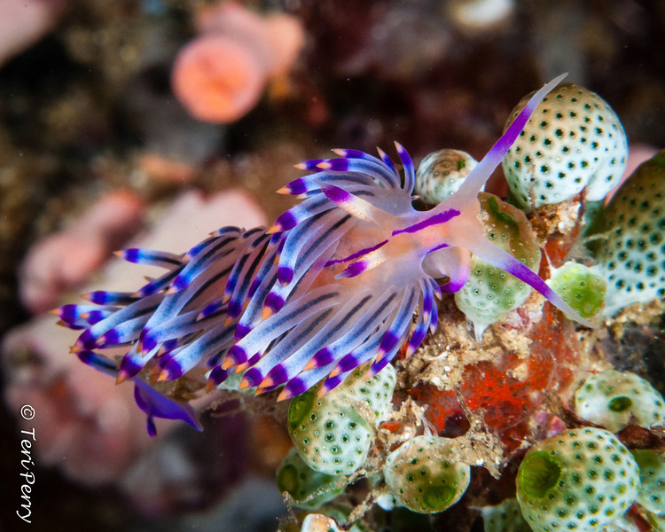 NUDIBRANCH - -9408.jpg