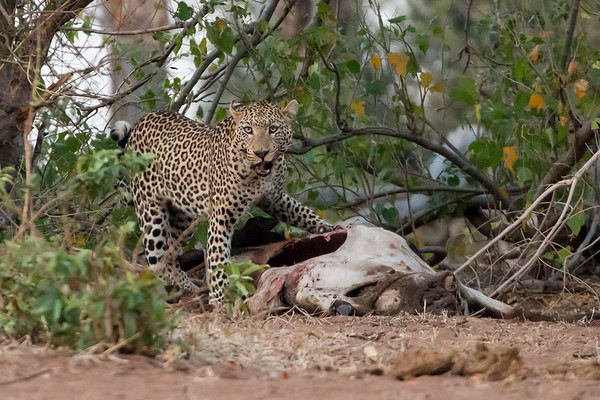 Nature 2015 Leopard and Wild Dog
