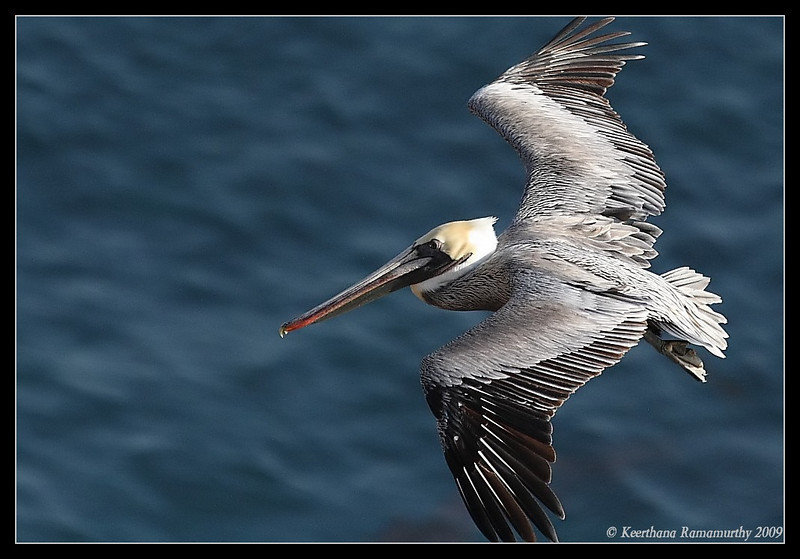 Brown Pelican, Anacapa Island, Channel Islands, November 2008