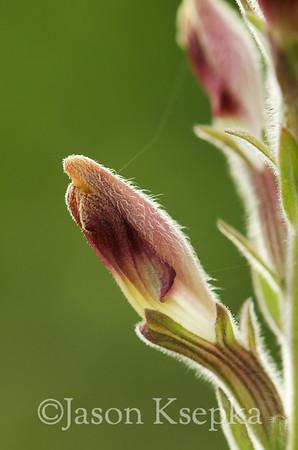 Orobanchaceae (Broomrape family)